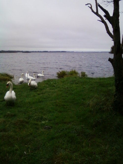 Swans on Lough Ennell